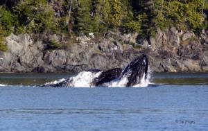 Pair of Humpback Whales Lunge Feeding