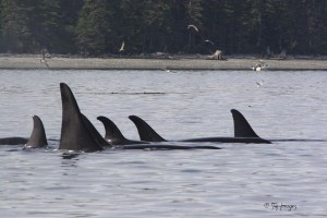 Pod of Orca - Killer Whales