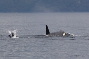 Dall's Porpoise and Resident Orca