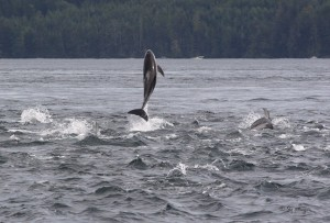 Pacific white sided dolphin leaping